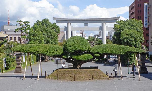 0イヌマキ樹齢160年600