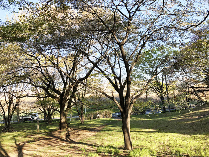 0葉桜のエドヒガン700