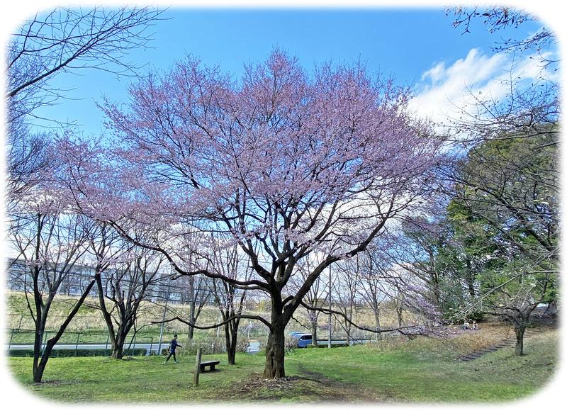 0桜12000
