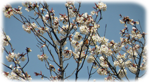 みのり公園の山桜