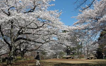 広場の桜2