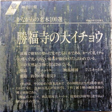 05勝福寺大銀杏450