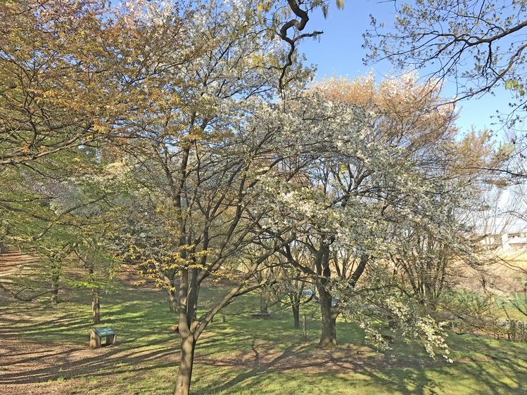 さくら広場 白い桜290414_3000