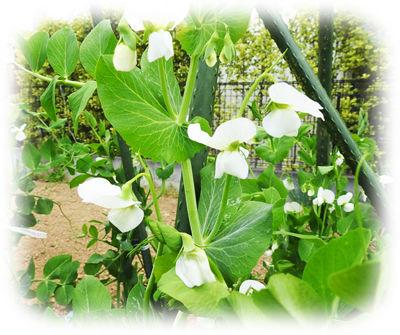 えんどう豆の花4000300408