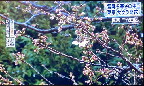 0桜開花宣言500