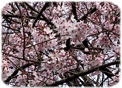 0エドヒガン桜500