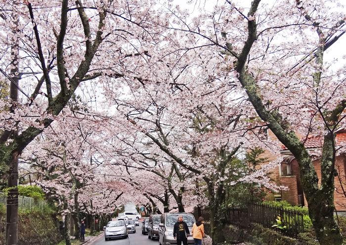 0伊豆高原桜並木_700