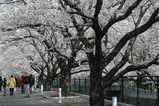 麻生桜広い道路
