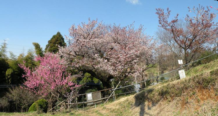400年桜(H21)パノラマ