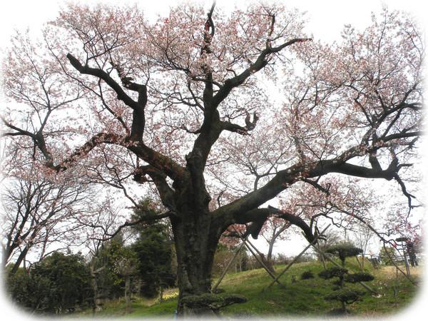400年山桜H22