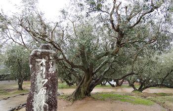 0オリーブの原木350