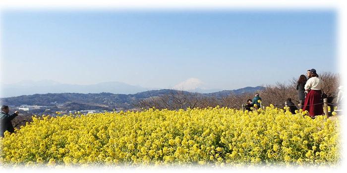 0山頂の菜の花700