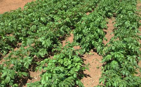ジャガイモの生育状況260517