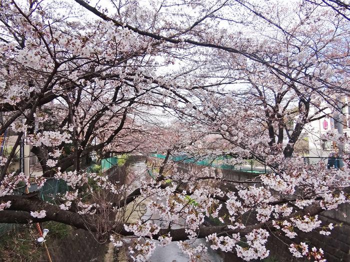 0麻生川桜2_700