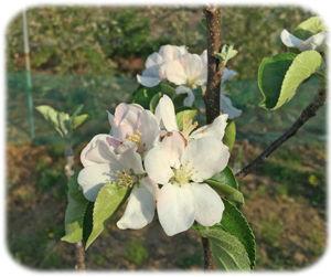0姫リンゴの花300