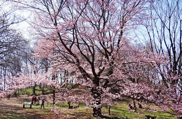 0よこやま桜1600