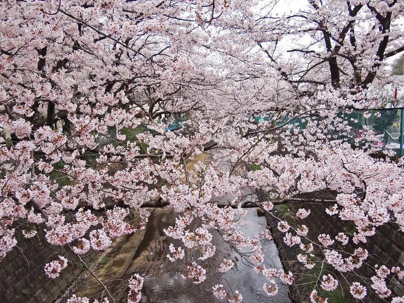 0川を埋め尽くす桜