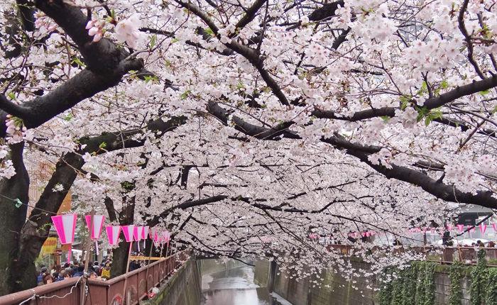 0目黒川桜1700