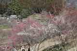 梅の小道1