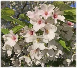 白桜250