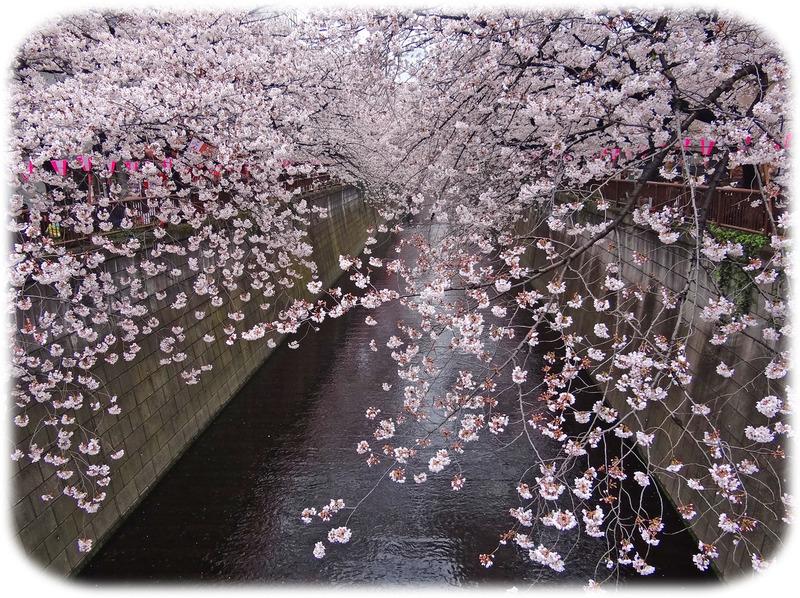 0美目黒川桜4