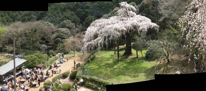 枝垂れ桜パノラマ