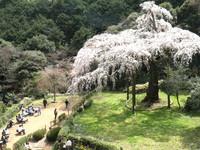 枝垂れ桜全景1