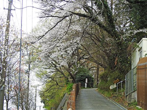0坂道の桜600