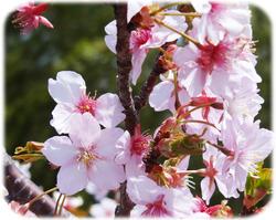桜の花250317