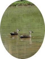 ペアの鴨と水田