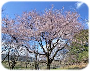 0桜タイトル350