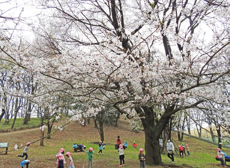 0桜42500