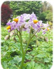 ジャガイモの花240517