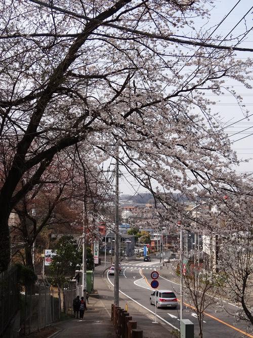 0分校の桜3_500