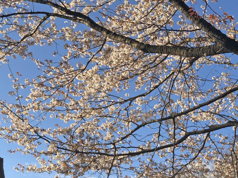 0ヤマ桜2000