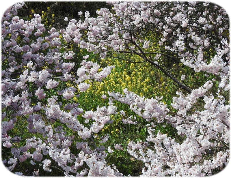 0桜と菜の花800
