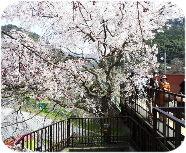 0亀岡駅の桜650