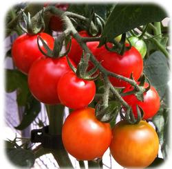庭のミニトマト220714