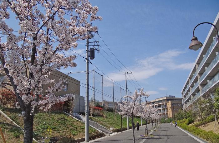 0桜に導かれて学校へ_700