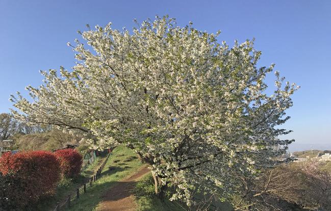 白い桜 290414
