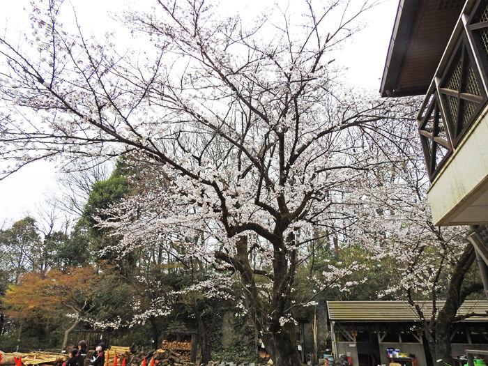 0分校の桜1700