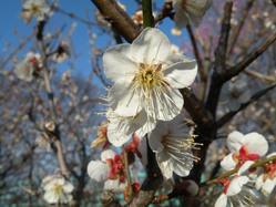 日本平の梅の花1