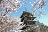 桜の香林寺