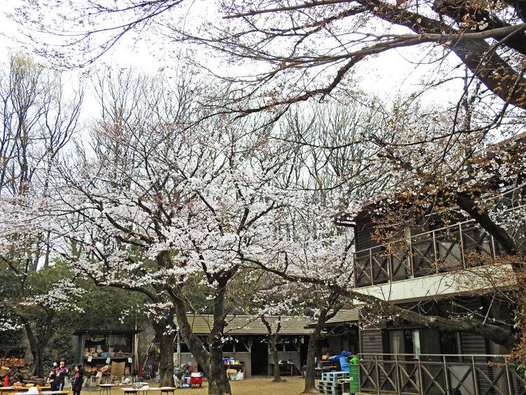 0分校の桜750