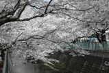麻生桜と川2