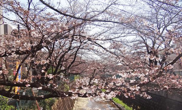 0桜並木2