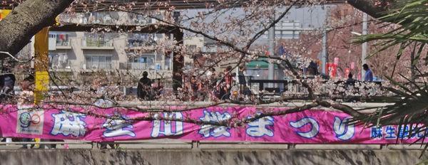 0桜まつり幕_600