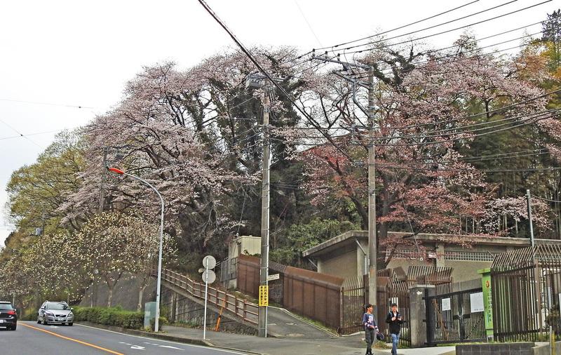 0坂道の桜2500
