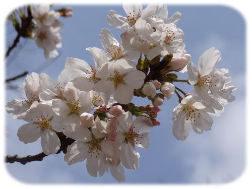 0分校の桜1500