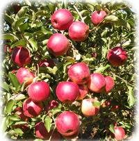 松井農園リンゴ2